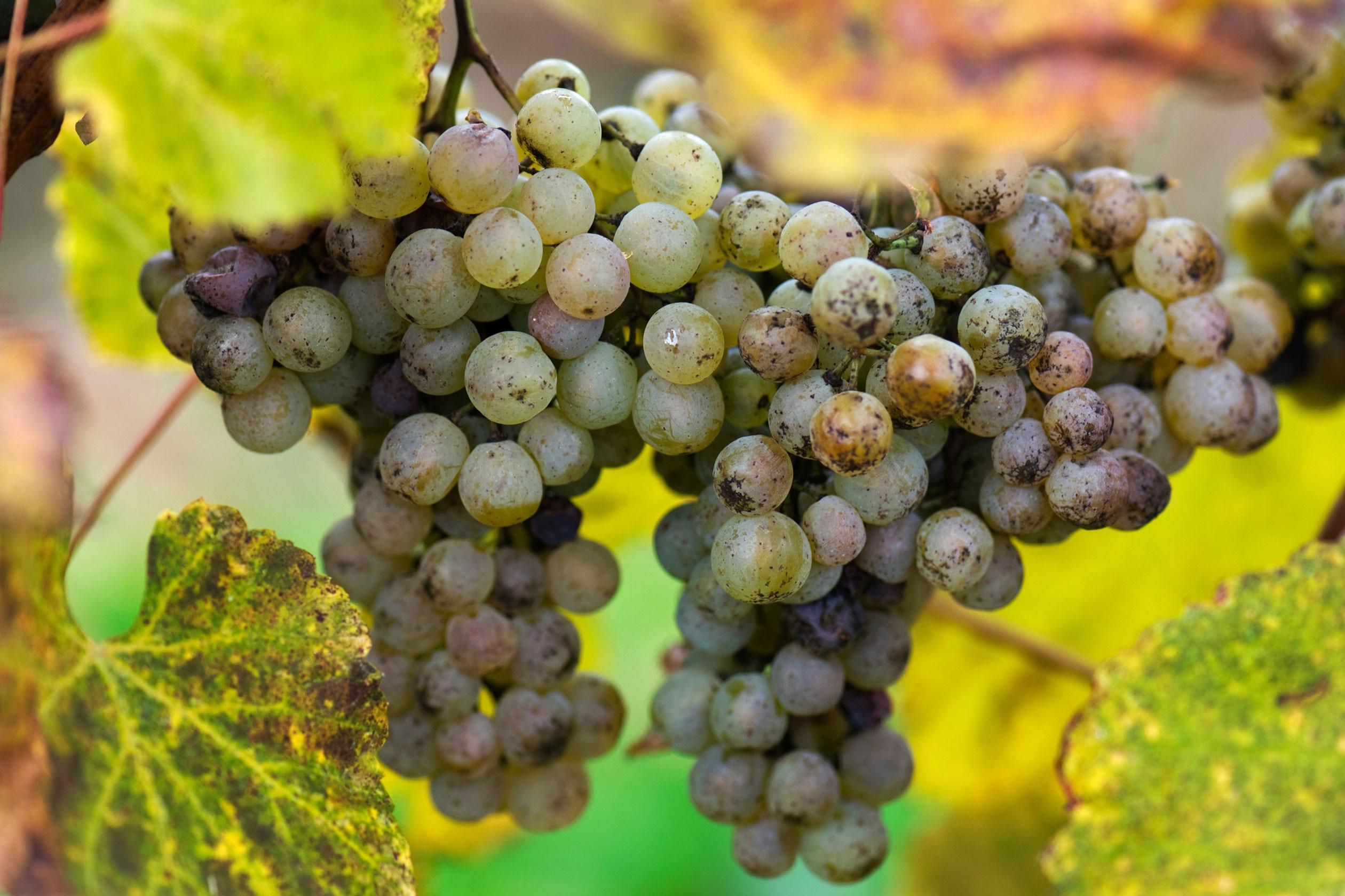 vins du sud-ouest, vins des Pyrénées, jurançon, pacherenc, madiran